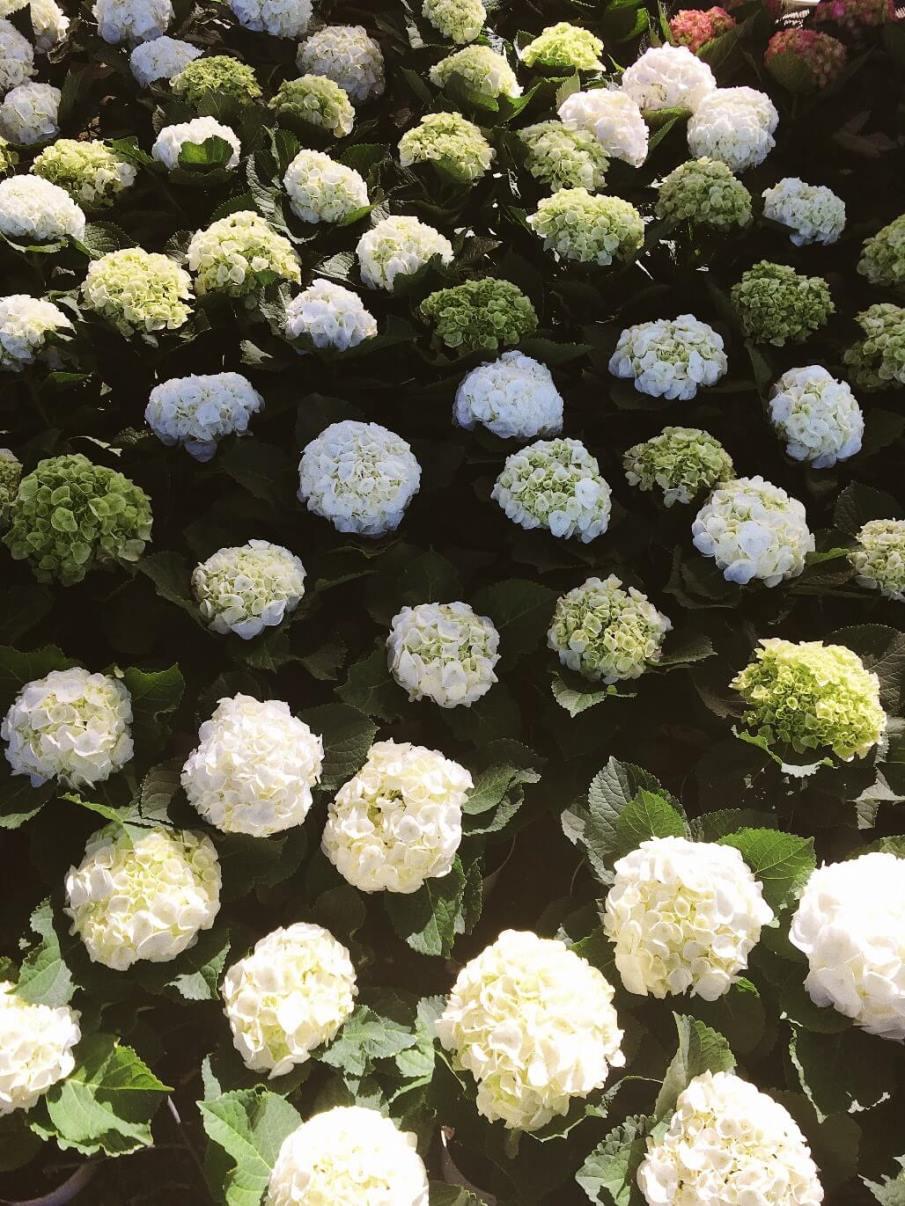 Цветы гортензии в Vinpearl Land Вьетнам