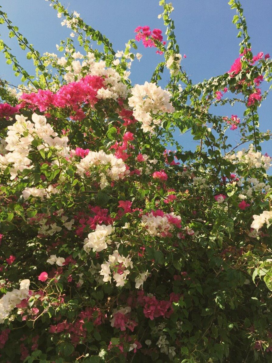 Цветущее дерево Вьетнама. Блог Ксении Волковой