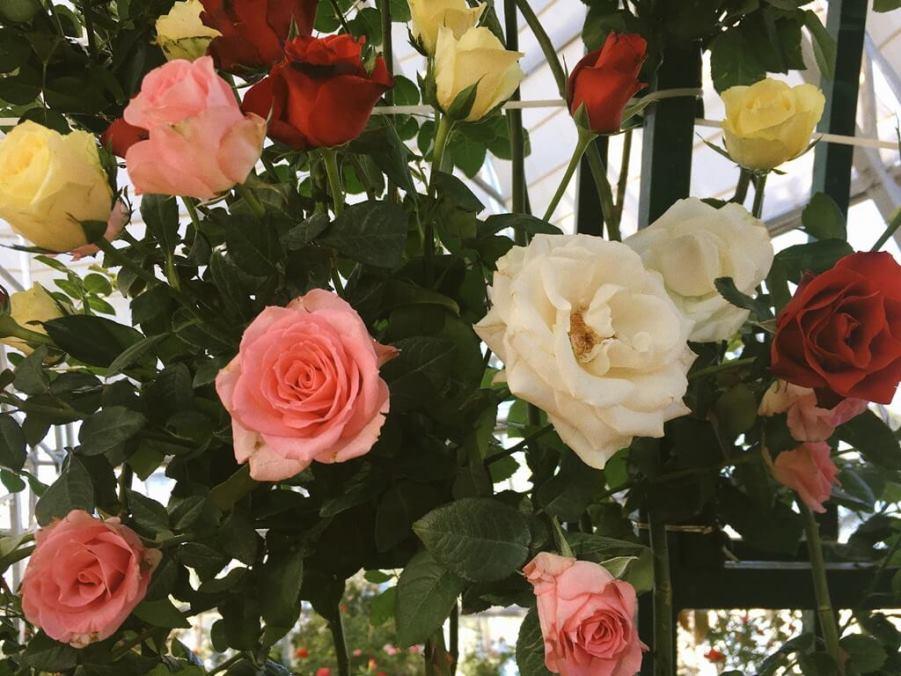 Цветы розы в Vinpearl Land Вьетнам